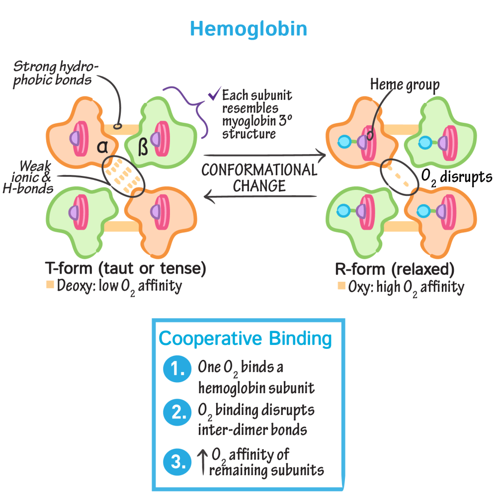 medium resolution of biochemistry glossary hemoglobin myoglobin 3 hemoglobin draw it to know it