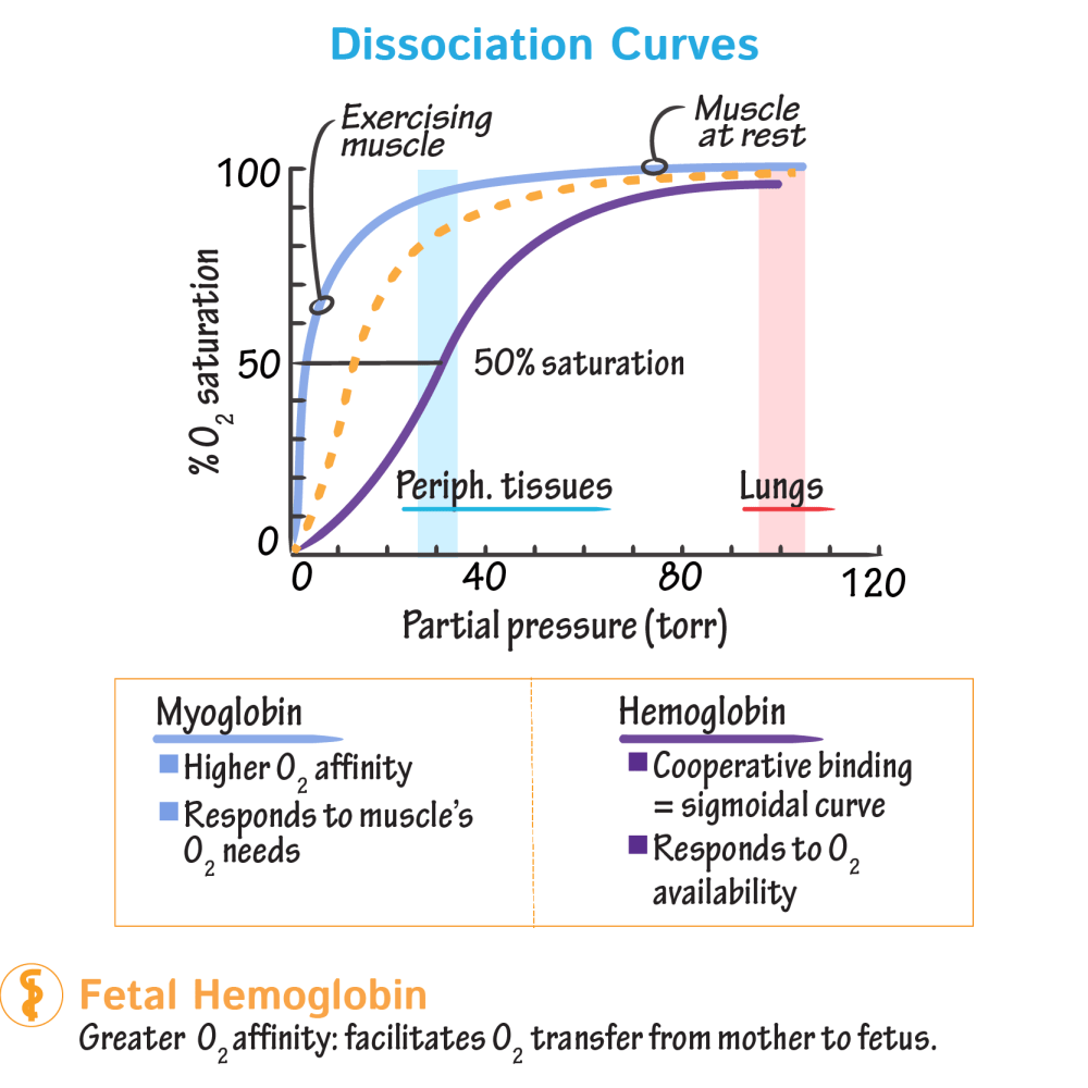 medium resolution of biochemistry glossary hemoglobin myoglobin 4 dissociation curves draw it to know it