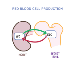 red blod cell diagram [ 1968 x 1968 Pixel ]