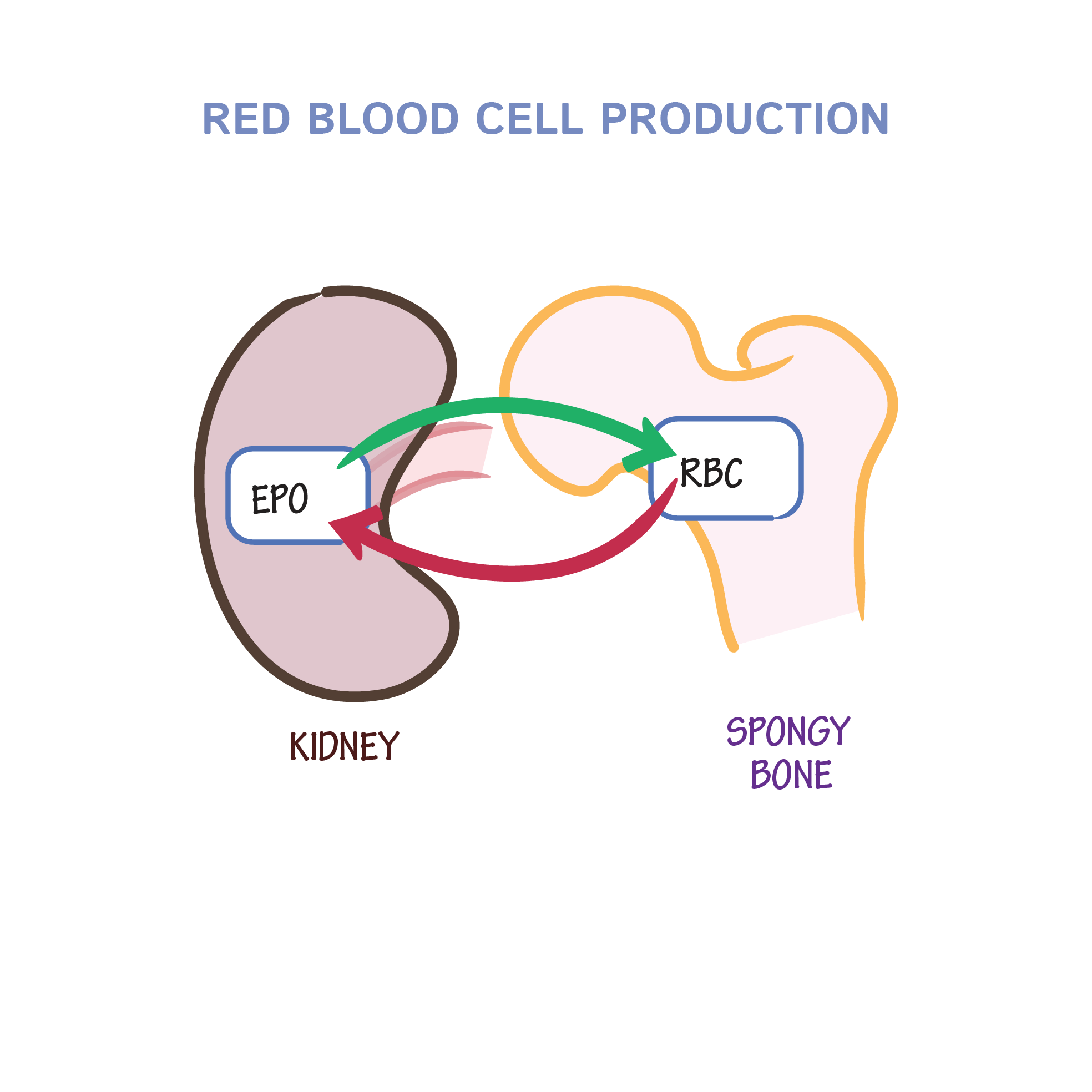 hight resolution of red blod cell diagram