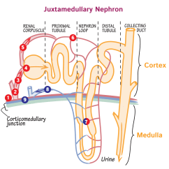 Nephron Diagram From A Textbook Software Release Process Flow Juxtamedullary Nephrons