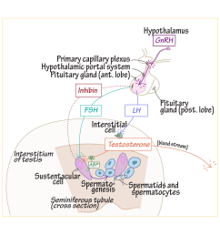 diagram of pituitary gland cell [ 1968 x 1968 Pixel ]