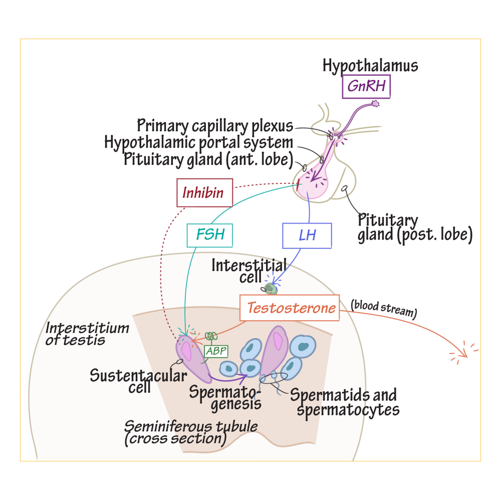 medium resolution of diagram of pituitary gland cell