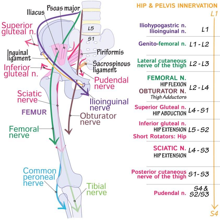 Gross Anatomy Glossary: Lumbosacral Plexus   Draw It to ...