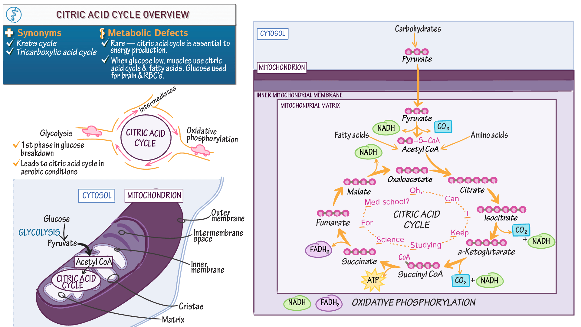 Cell Biology Citric Acid Cycle Overview