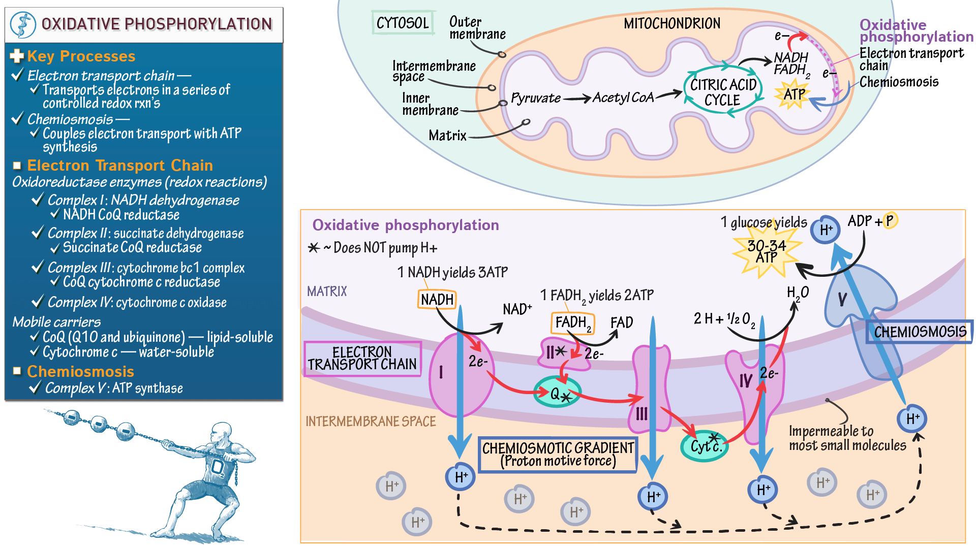 electron transport chain diagram for dummies 2017 wrx stereo wiring oxidative phosphorylation biochemistry 2007 toyota tundra