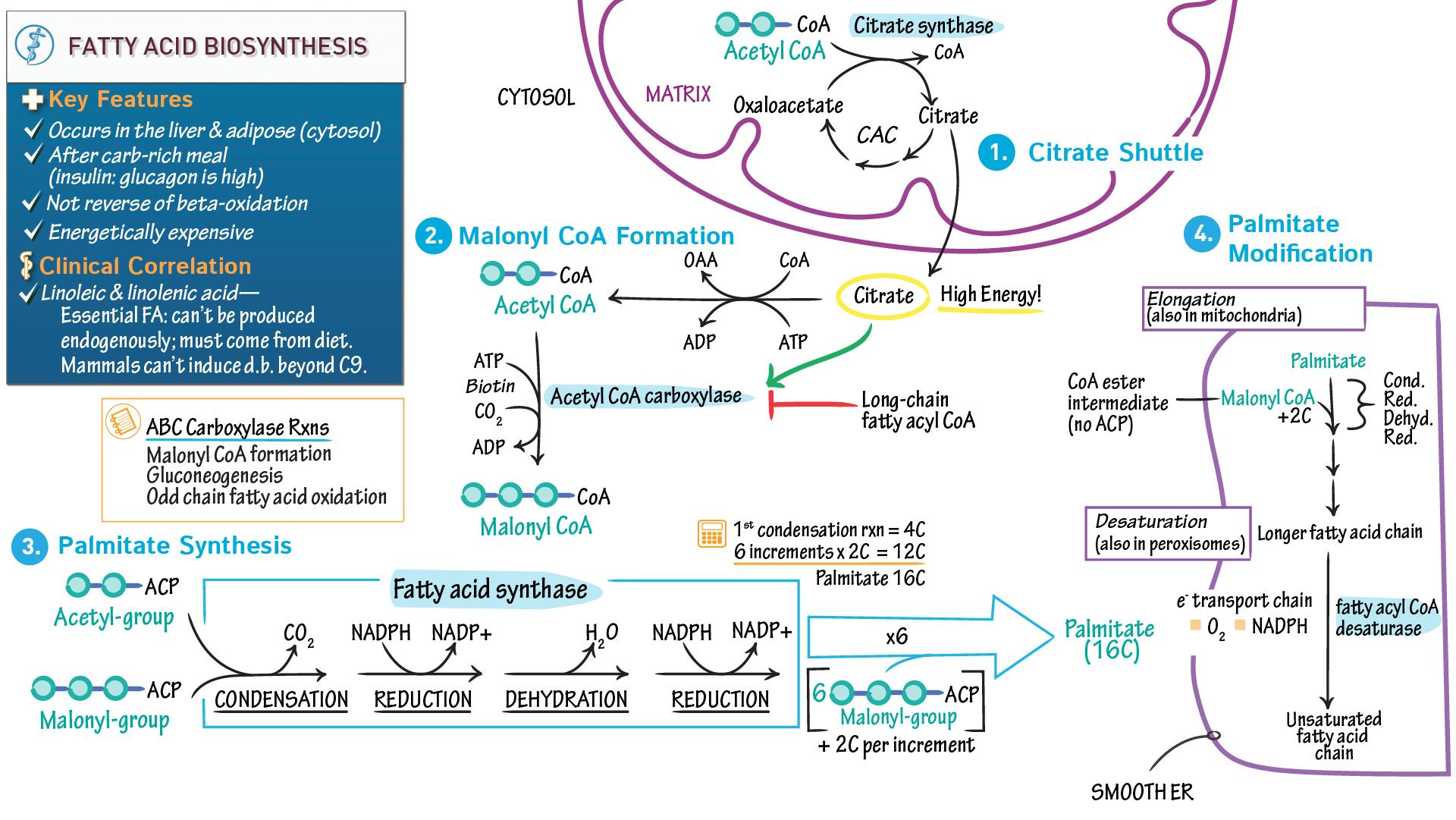Fatty Acid Synthesis Medsphere
