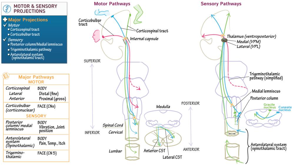 medium resolution of neuroscience fundamentals major motor sensory projections draw it to know it