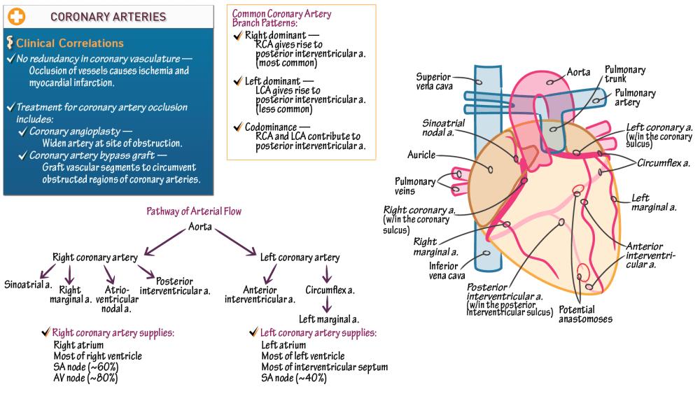 medium resolution of heart diagram rca