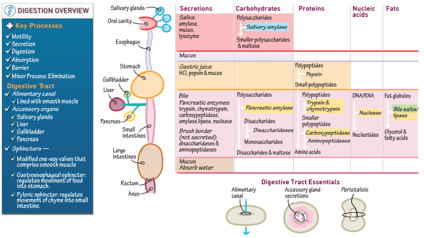 Anatomy & Physiology: Overview of Digestive Physiology ...