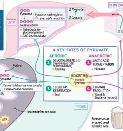 glycolysi diagram biology [ 1920 x 1081 Pixel ]