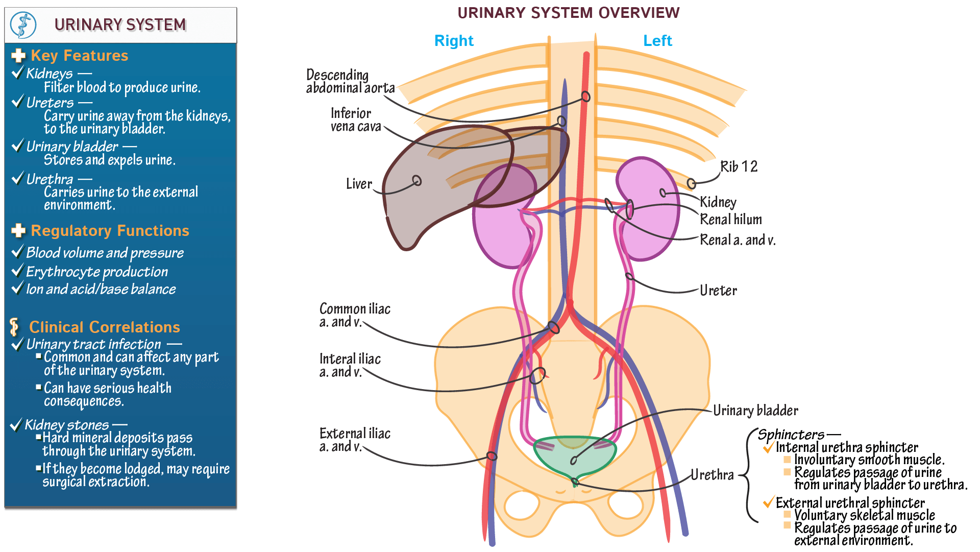 Urinary System Diagram And Functions