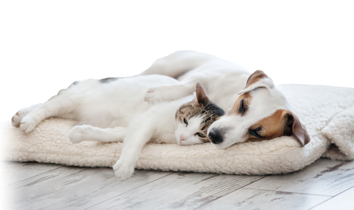 medium resolution of dog and cat cuddling on bed