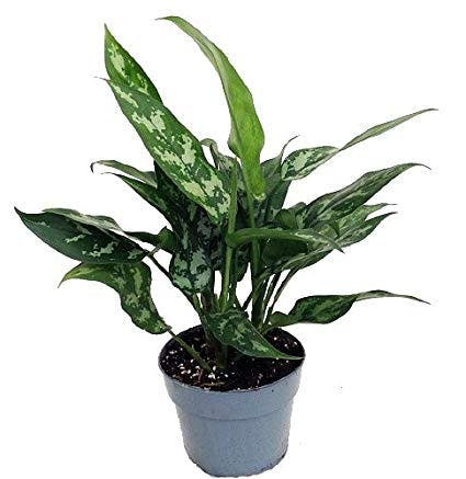 houseplants, indoor plants, plants, Chinese evergreen