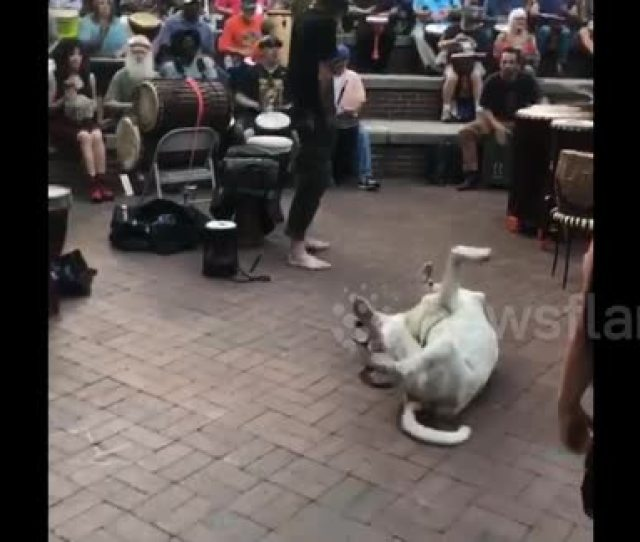 Newsflare This Dog Cant Help Jiving To The Music At A Drum Circle In Tennessee