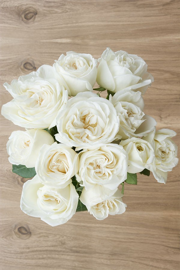 Jeanne Moreau  Ivory Garden Rose