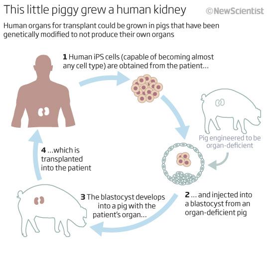 Resultado de imagen para Transplanting Pig Organs Into Humans