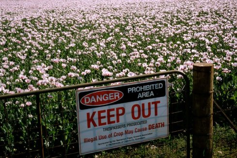 Image result for heroin plant