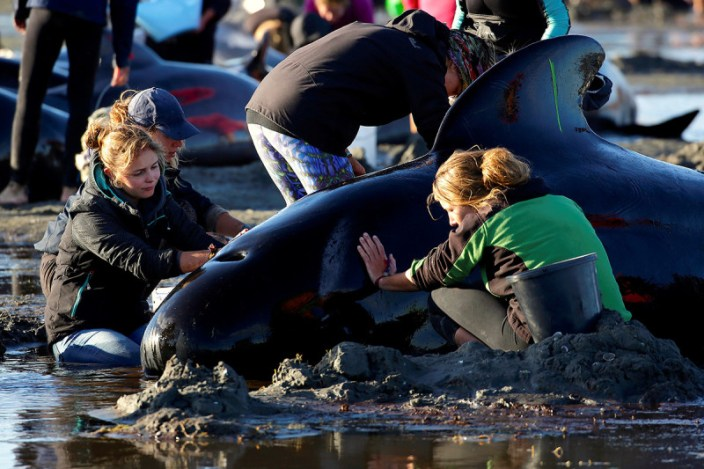 Volunteers attending to stranded whales in New Zealand, 10 February 2017