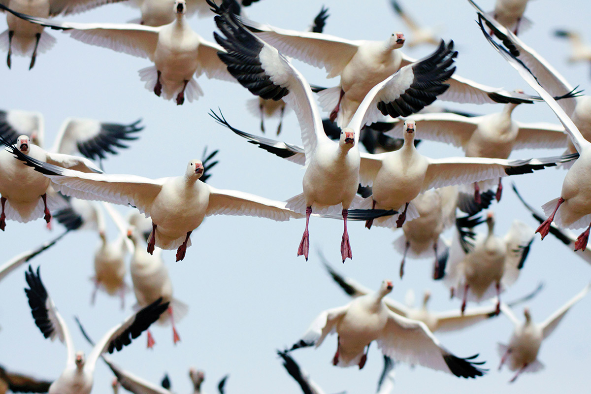 This Bird Has Flown Unravelling The Mysteries Of Bird Migration