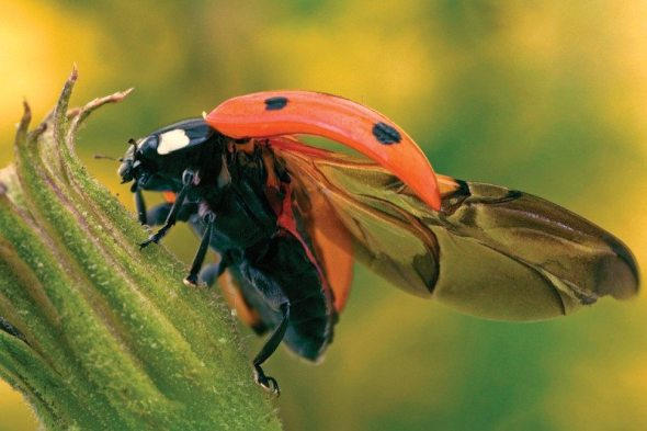 Image result for Ladybird's transparent shell reveals how it folds its wings