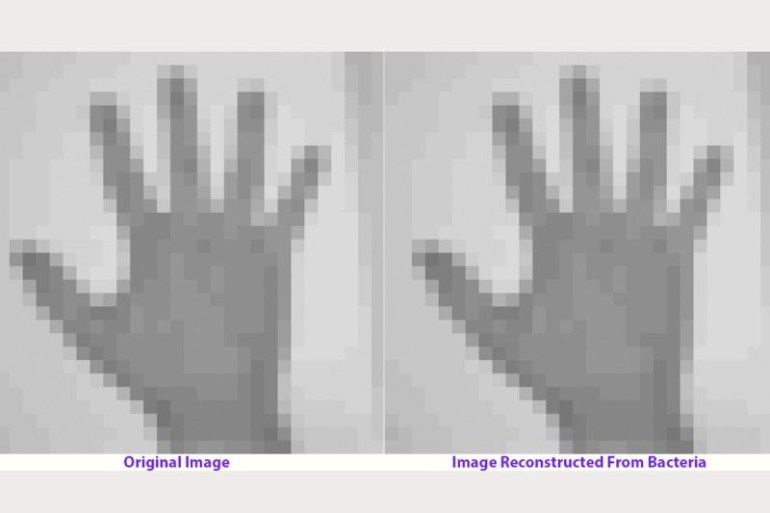 An image of a hand (left) was stored in living bacteria, and then after multiple generations, the image on the right was recovered by sequencing bacterial genomes