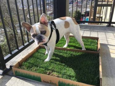 Which Type of Dog Grass Pad is Best for Your Balcony. Dog in apartment living.