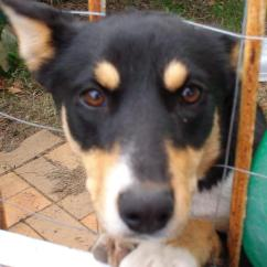 Living Room Furniture For Sale White Couches Sale: Free Border Collie Kelpie Cross