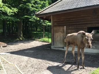 Wildnispark Zurich, Moose