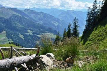 Alpine marmots on Stanserhorn
