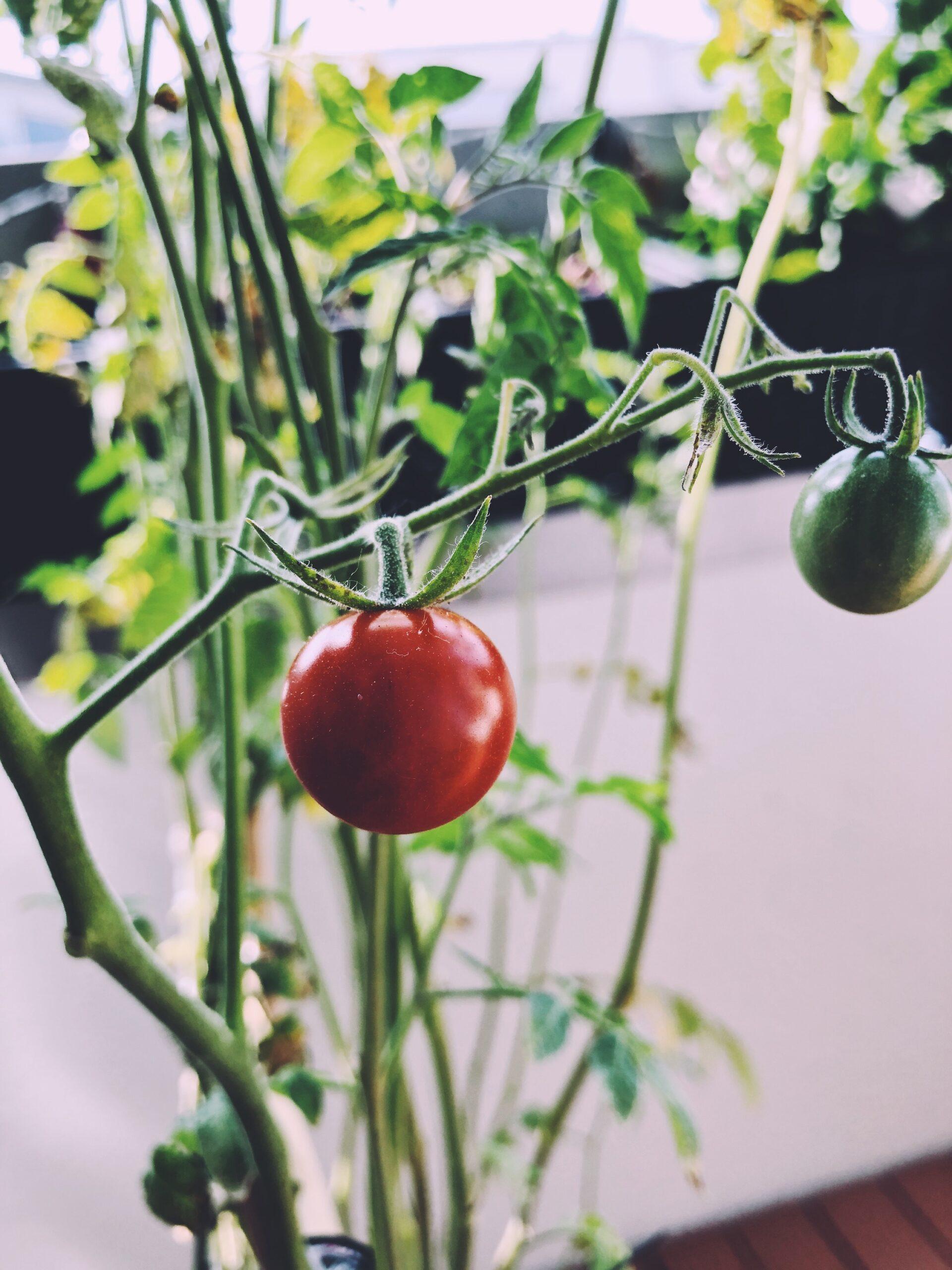 Cherry tomatoes in the urban garden