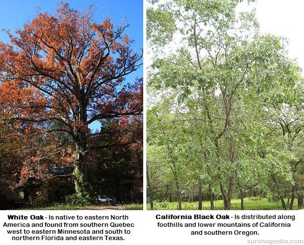 White Oak Black Oak