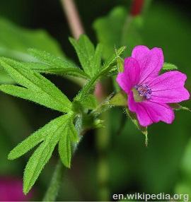 Geranium pink flower detail