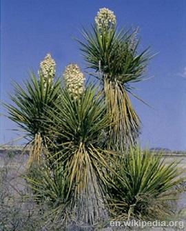 Yucca 2
