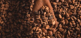 This is image shows us what a Cocoa bean looks like