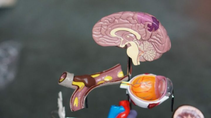 Models of a human brain, an artery and different organs.