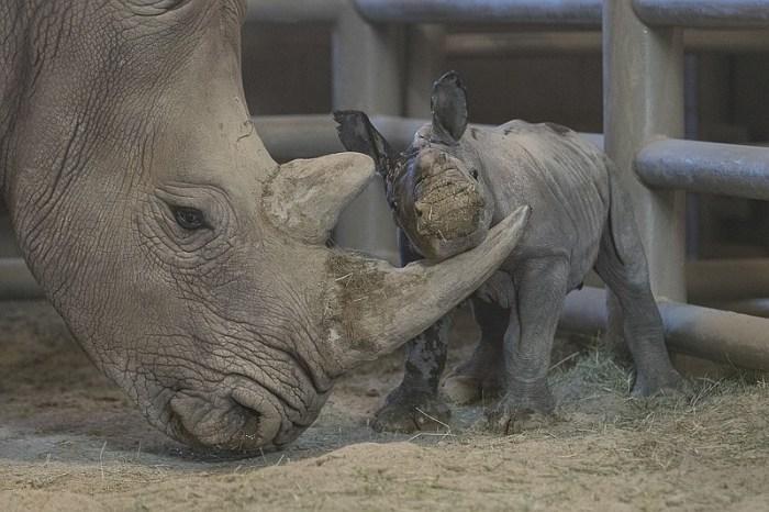 A white rhino and calf in a boma