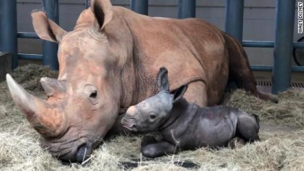 A white rhino and her calf