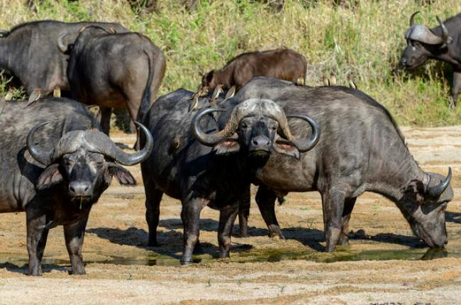 A herd of buffalos in Kruger Park