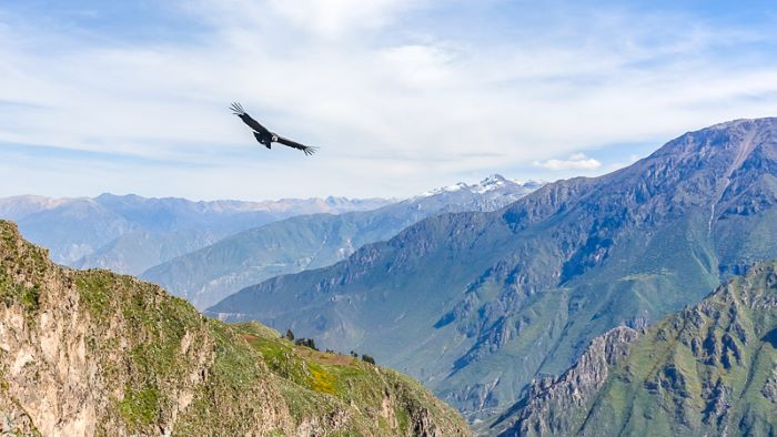 Condor flying above the Colca Canyon in Peru