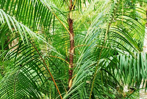 rattan palm in the forest