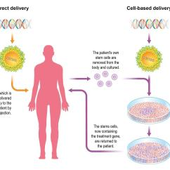 In Vivo Gene Therapy Diagram Parallel Speaker Wiring Delivering Feature Chemistry World