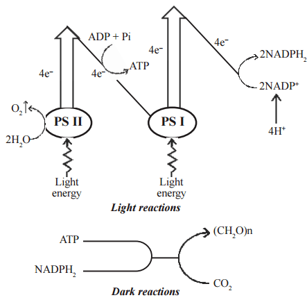 Mechanism of photosynthesis and Site of photosynthesis
