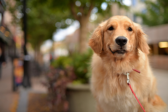 Golden Retriever: inteligente, brincalhão e leal - Blog DogHero for dog lovers