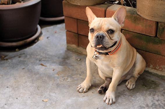 Bulldog Francés: juguetón, tranquilo y inteligente