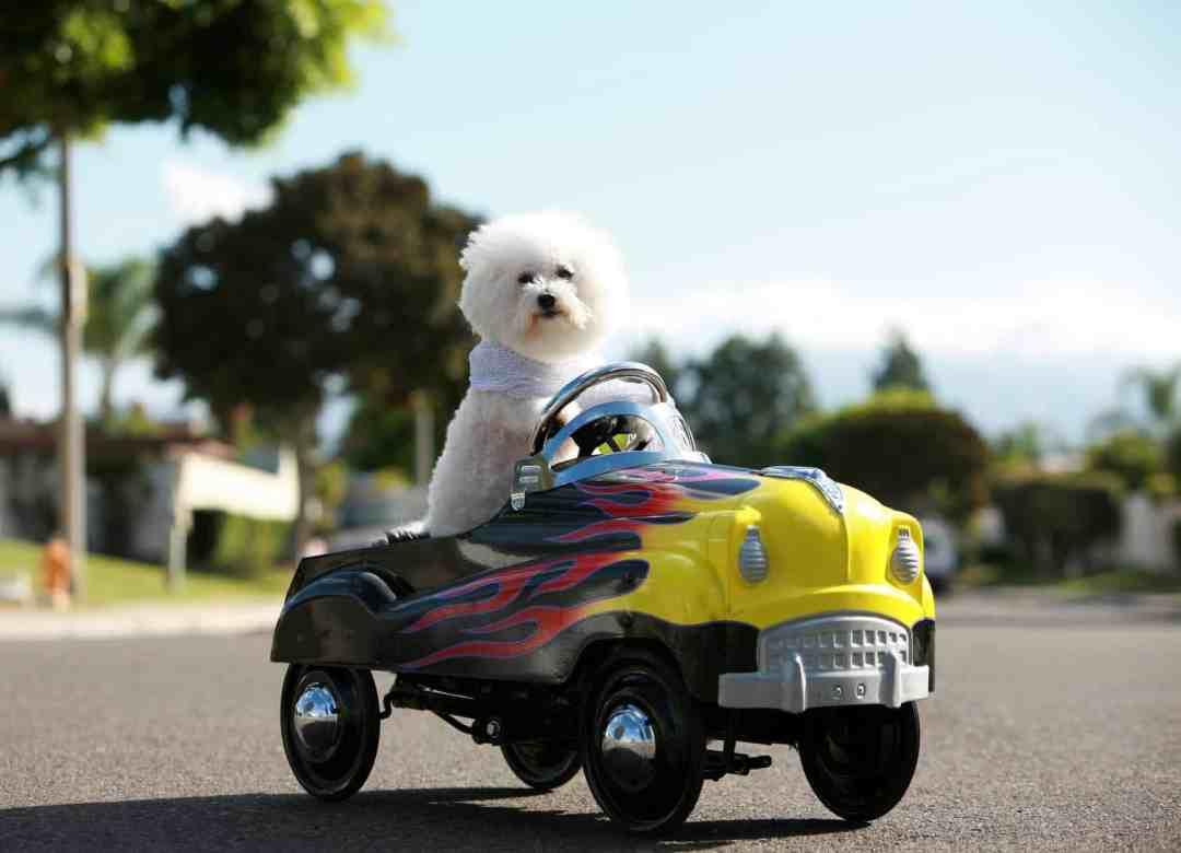 O poodle é um parceiro de aventuras