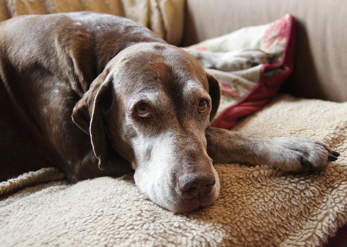 cachorro_idoso_doghero2
