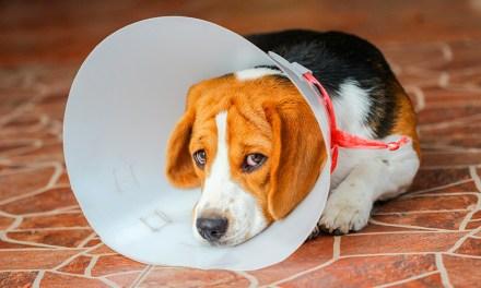 Castração de cães: o que muda na saúde, comportamento, cuidados no pós-operatório e mais!