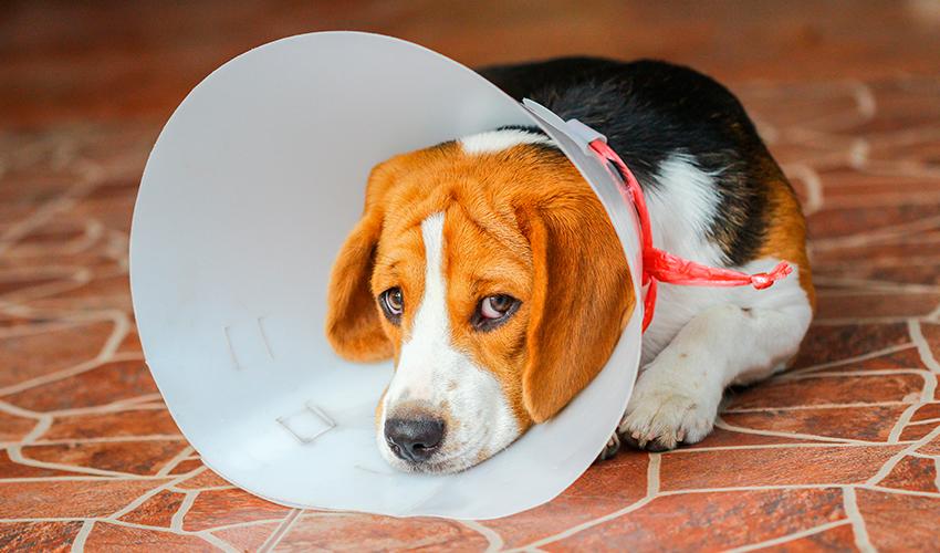 Castração de cães: tudo sobre o assunto
