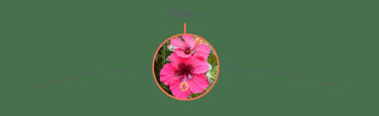 Plantas tóxicas para cães: hibisco